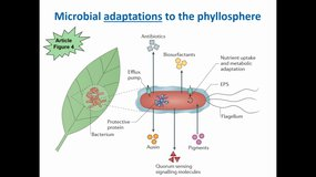 Microbial life in the phyllosphere